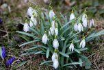 春の兆しのスノウドロップ