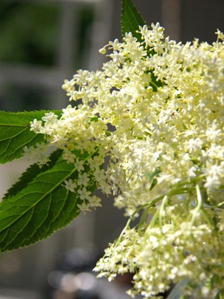 フレーデルのお花