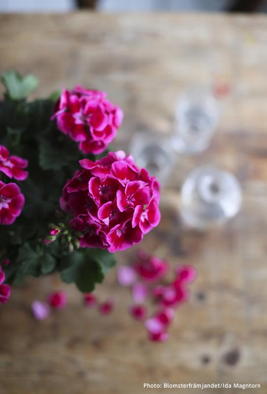 スウェーデン人が愛する花「ゼラニウム」